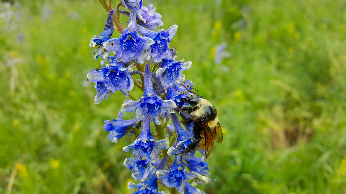 image of bumblebee on a bunch of blue flowers