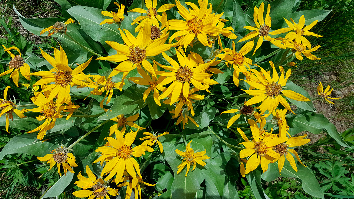 image of yellow flowers on green foliage