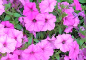 slightly soft, pixelated image of flowers